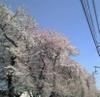 Sakura060404b