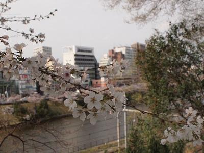 Sakuraichigaya130323