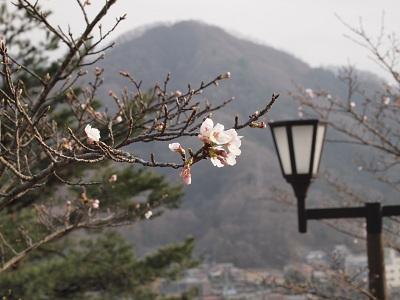 Sakuraiwadono_koen130324