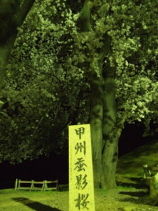 Yatsushirofurusatokoenkokagesakura_